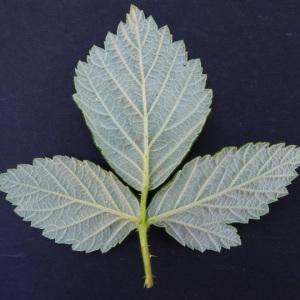 Photographie n°159362 du taxon Rubus canescens DC.