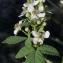 Bertrand BUI - Rubus canescens DC.