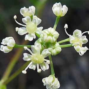 Trinia glauca (L.) Dumort. (Trinie commune)