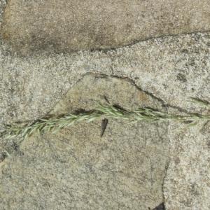 Photographie n°159391 du taxon Poaceae