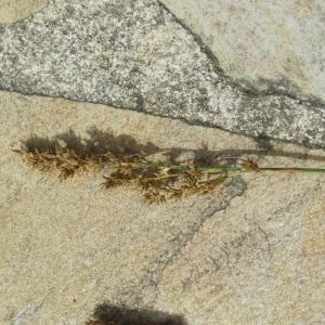 Photographie n°159395 du taxon Poaceae