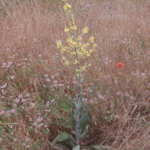 Photographie n°159452 du taxon Verbascum pulverulentum