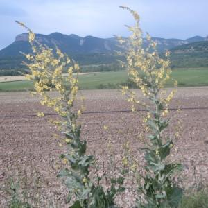 Photographie n°159454 du taxon Verbascum pulverulentum