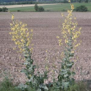 Photographie n°159457 du taxon Verbascum pulverulentum