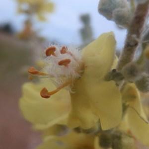 Photographie n°159459 du taxon Verbascum pulverulentum