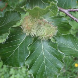 Photographie n°159490 du taxon Fagus sylvatica