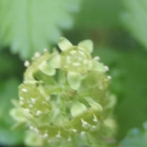Photographie n°159499 du taxon Ribes