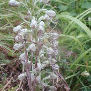 Photographie n°159527 du taxon Himantoglossum hircinum