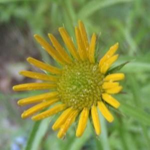 Buphthalmum salicifolium L. (Buphtalme)
