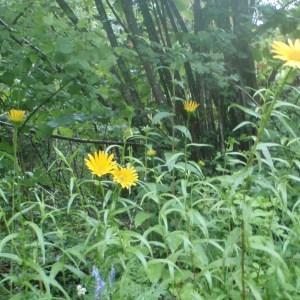 Photographie n°159530 du taxon Buphthalmum salicifolium L. [1753]