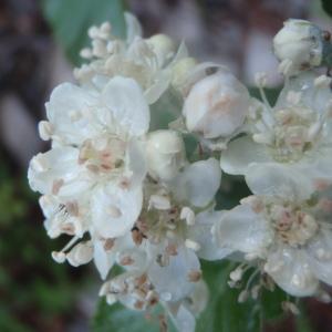 Sorbus aria (L.) Crantz [1763] (Alisier blanc)