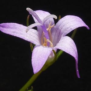 Campanula rapunculus L. (Campanule raiponce)