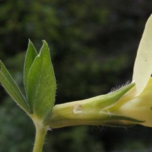 Photographie n°159781 du taxon Lotus maritimus L. [1753]