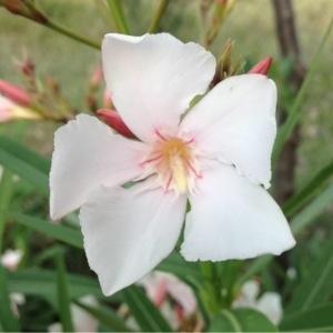 Photographie n°159880 du taxon Nerium oleander L. [1753]