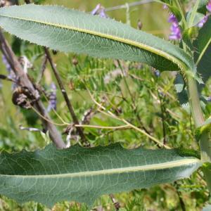 - Lactuca serriola f. integrifolia Bogenh.