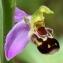 Marie  Portas - Ophrys apifera Huds.