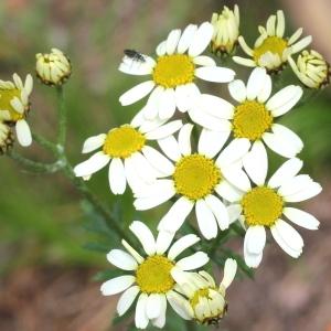 Tanacetum corymbosum (L.) Sch.Bip. (Chrysanthème en corymbes)