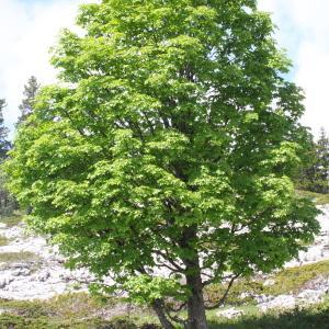 Photographie n°160130 du taxon Acer pseudoplatanus L.