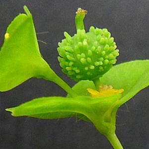 Euphorbia stricta L. [1759] (Euphorbe droite)