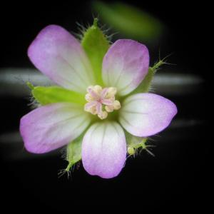 Geranium rotundifolium L. [1753] (Géranium à feuilles rondes)