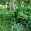 Mathieu Sinet - Trifolium angustifolium subsp. angustifolium