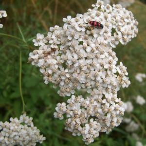 Achillea millefolium L. subsp. millefolium (Achillée millefeuille)