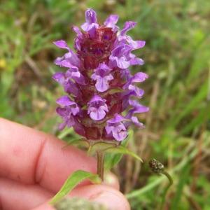 Prunella vulgaris L. subsp. vulgaris (Brunelle commune)