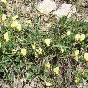 Photographie n°160325 du taxon Lotus maritimus L. [1753]