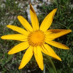 Senecio doronicum (L.) L. (Séneçon doronic)