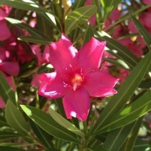 Photographie n°160438 du taxon Nerium oleander L. [1753]