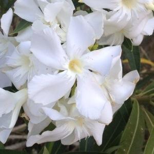 Photographie n°160439 du taxon Nerium oleander L. [1753]