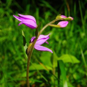 Photographie n°160478 du taxon Cephalanthera rubra (L.) Rich. [1817]