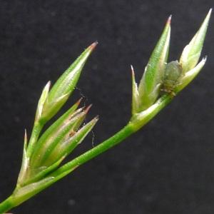 Juncus tenuis Willd. (Jonc fin)