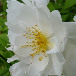 Photographie n°160520 du taxon Rosa arvensis Huds.