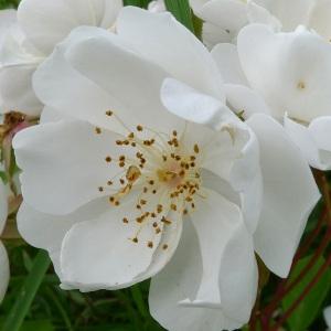 Photographie n°160521 du taxon Rosa arvensis Huds.