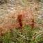 Corinne CHEVALIER - Cuscuta epithymum (L.) L.