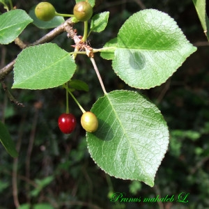 Photographie n°160597 du taxon Prunus mahaleb L.