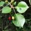 Bernard Andrieu - Prunus mahaleb L.