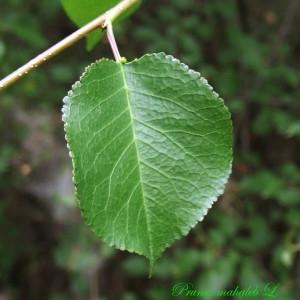 - Prunus mahaleb L.