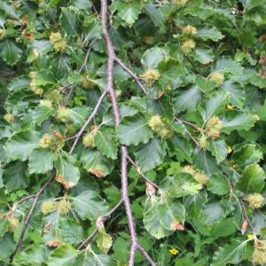 Photographie n°160613 du taxon Fagus sylvatica L.