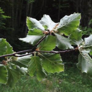 Photographie n°160616 du taxon Fagus sylvatica L.