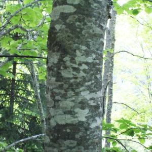 Photographie n°160618 du taxon Fagus sylvatica L.