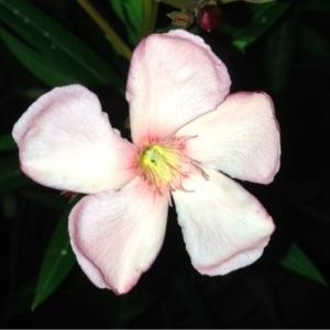 Photographie n°160686 du taxon Nerium oleander L. [1753]