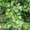 Liliane Roubaudi - Ribes alpinum L.