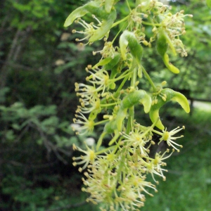 Acer majus Gray (Érable sycomore)