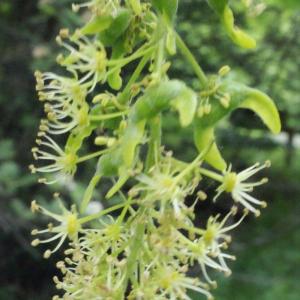 Photographie n°160757 du taxon Acer pseudoplatanus L.