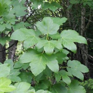 Photographie n°160758 du taxon Acer pseudoplatanus L.