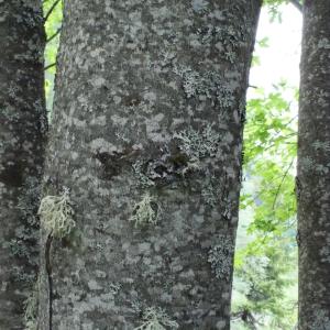 Photographie n°160761 du taxon Acer pseudoplatanus L.