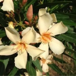 Photographie n°160845 du taxon Nerium oleander L. [1753]