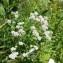Dominique Remaud - Lepidium latifolium L.